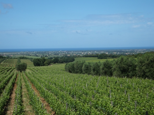 one of the vineyards of Ornellaia