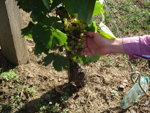 Gábor showing us a cluster with botrytised grapes